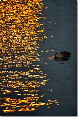 Golden Water and Duck