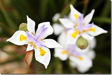 White irises 2