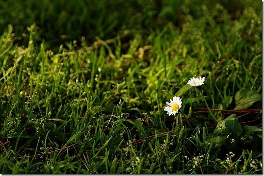 Дві ромашки у траві