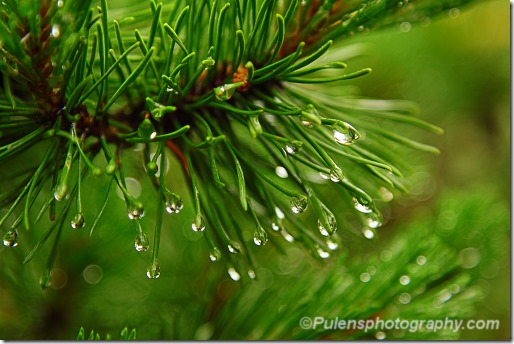 Pine needles with raindrops