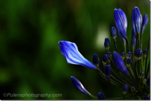 Blue flower buds
